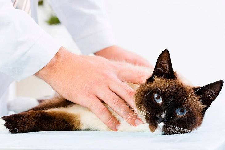 Кашель у кошки. ответы ветеринара о причинах и лечении