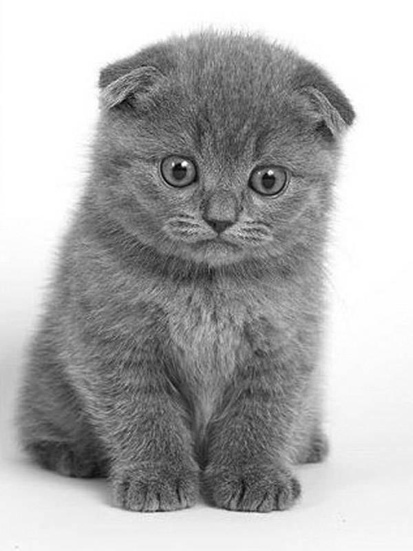 Tag archives: британские котята