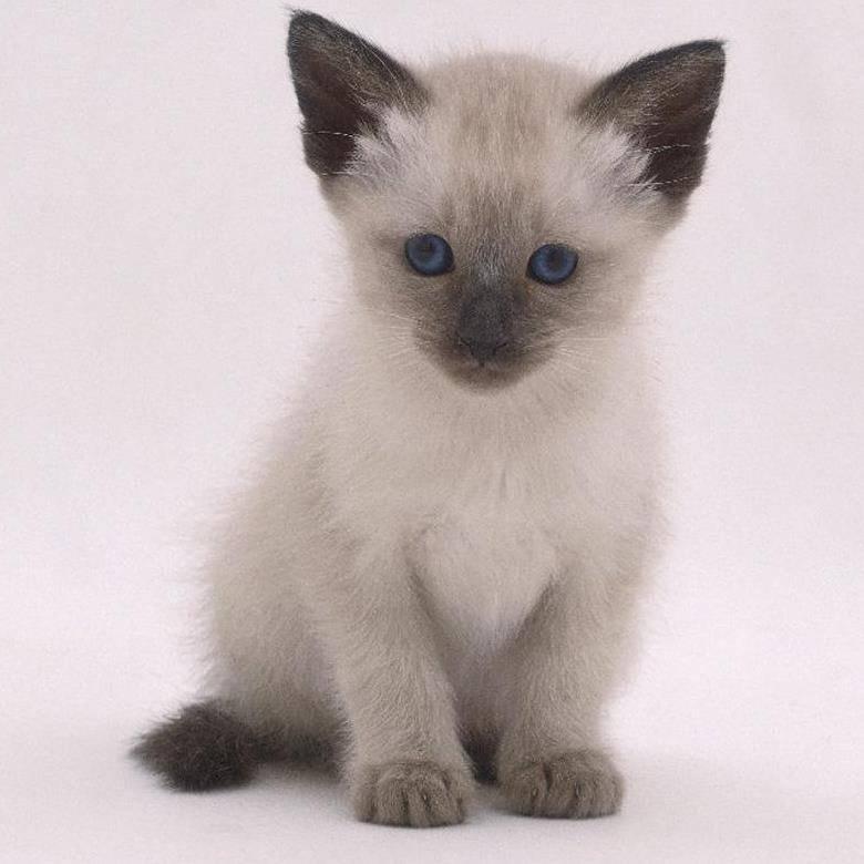 Японские клички для котов и кошек, красивые имена для мальчиков и девочек.