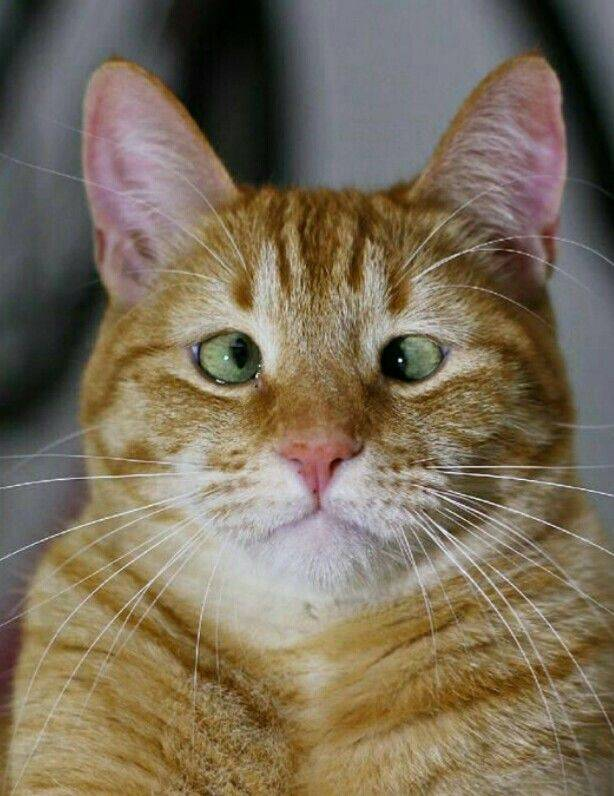 Косоглазие у кошек – причины и лечение