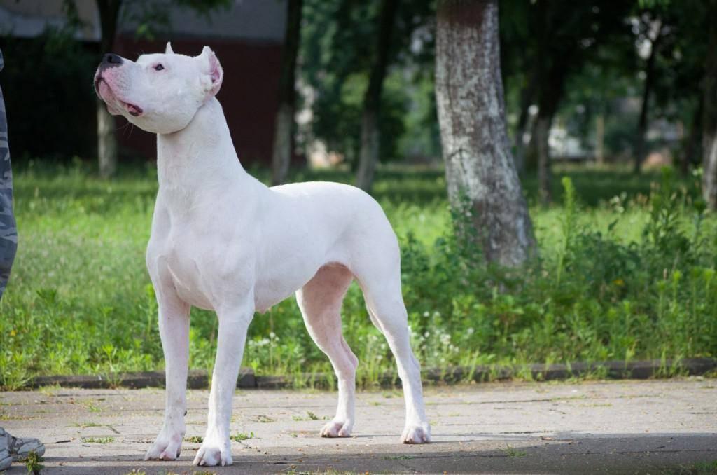 Аргентинский дог – белоснежный красавец: характеристика породы