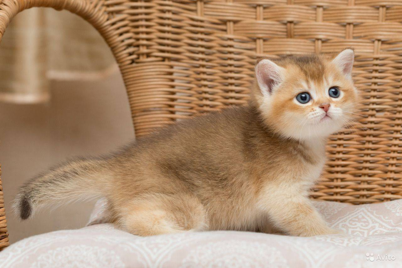 Британская шиншилла: описание породы, характер кошки, фото белый серебристый, золотистый и затушёванный шиншилловый кот