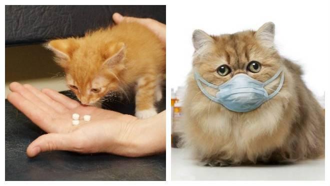 Как вылечить насморк и чих кота в домашних условиях. котенок чихает: что делать