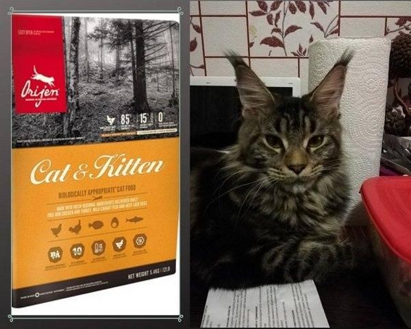 Как и чем кормить котенка мейн-куна: с рождения и до года, режим и норма кормления, натуральный рацион или готовые корма, витамины и добавки, список запрещенных продуктов