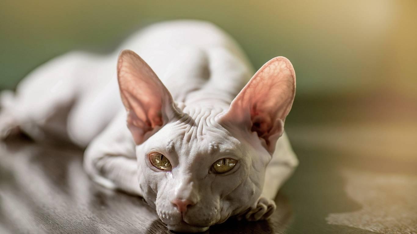 Породы кошек похожих на собак: топ 20 [фото и названия] - муркотэ