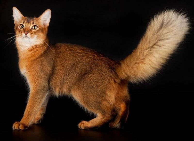 Сомалийская кошка - описание породы, характер, фото, цена   сайт «мурло»
