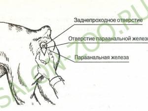 Воспаление параанальных желез у кошек