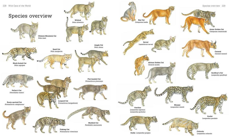 Самые интересные представители кошачьих