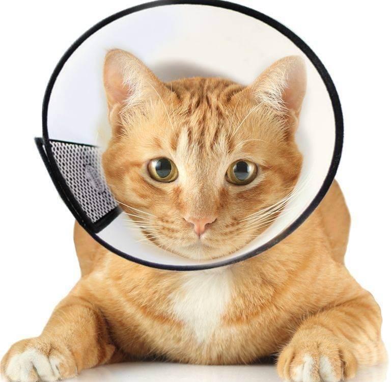 Сколько коту носить воротник после кастрации: как выбрать и сделать