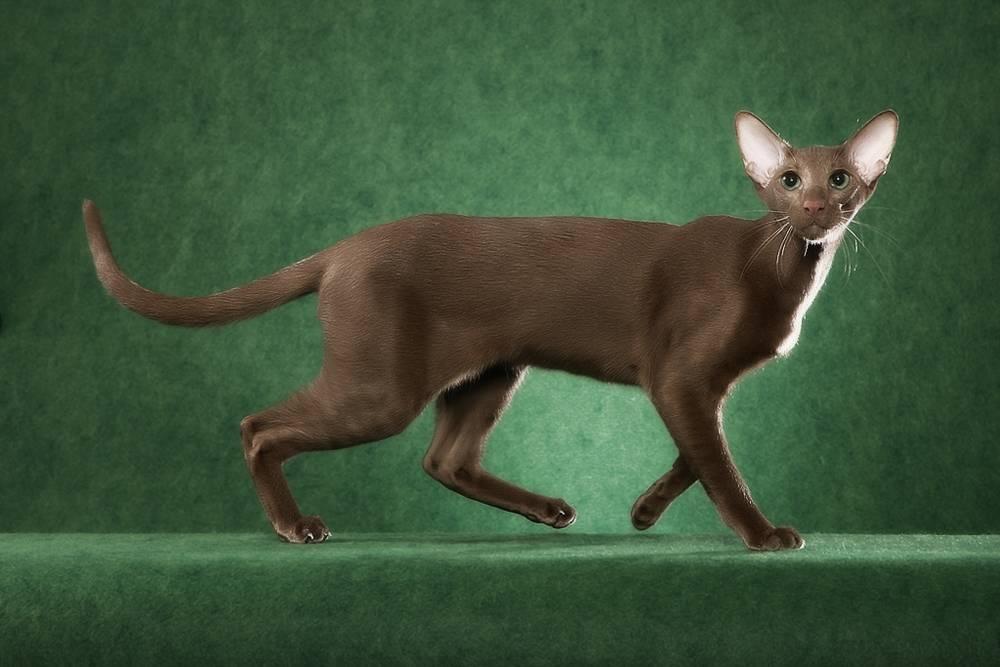 Ориентальная кошка (ориентал): фото, описание породы, цена котенка, характер