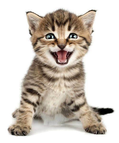 Почему кошка мяукает когда ходит в туалет: основные причины и болезни