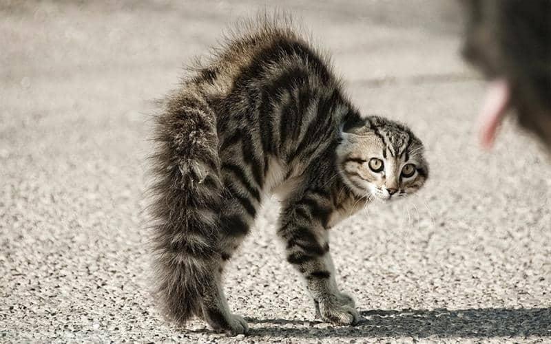 Кот или кошка шипит на хозяина — что делать?