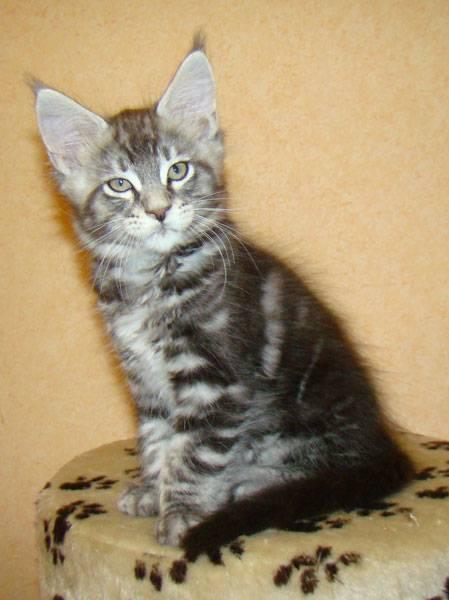Вес котенка мейн-куна в таблице по месяцам, вес и размер взрослых котов и кошек. - petstime.ru