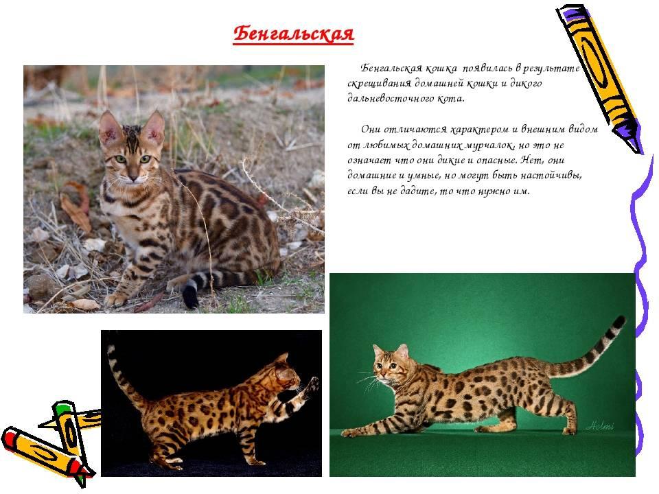 Тойгер – домашний тигр в миниатюре
