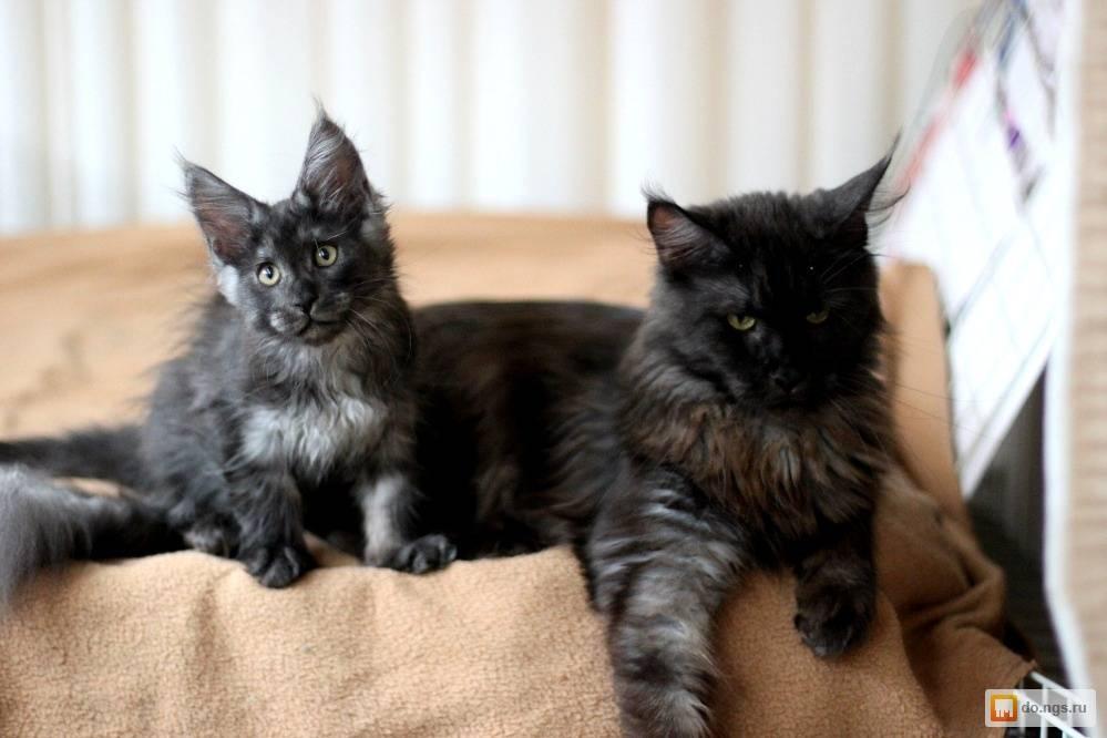 Мейн-кун черепахового окраса (14 фото): описание голубокремовых и черных кошек, другие вариации окраса котенка