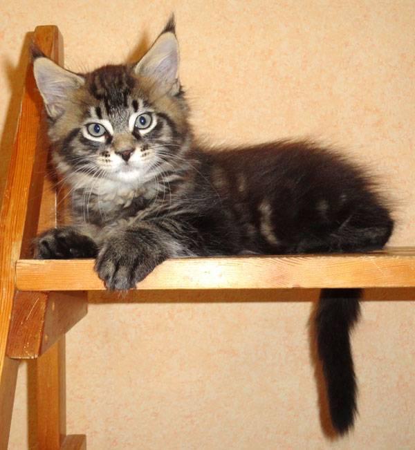Как правильно кормить котенка и взрослого мейн-куна?