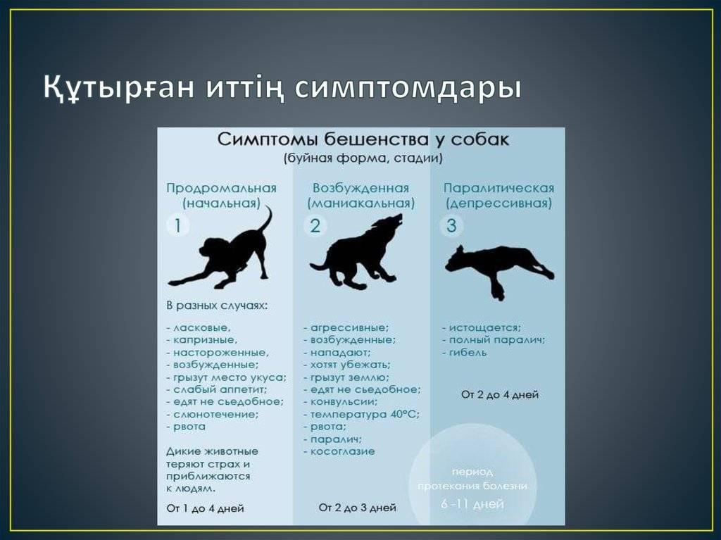 Бешенство у кошек: симптомы, лечение, опасность для человека бешенство у кошек: симптомы, лечение, опасность для человека