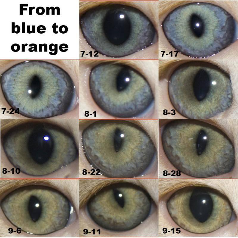 Когда у котят меняется цвет глаз | в каком возрасте