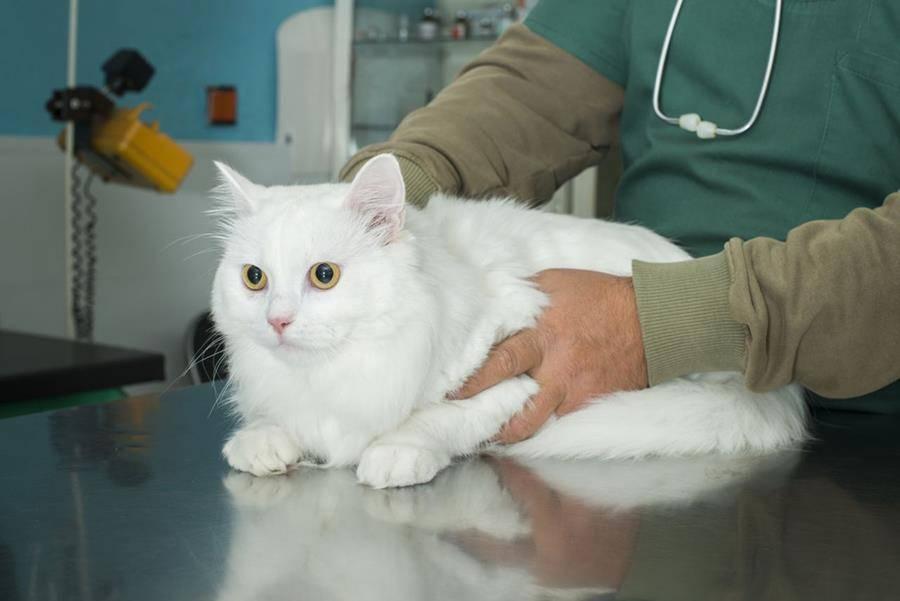 Вик у кошек (лечение, симптомы, диагноз, терапия). вик заболевание у кошек