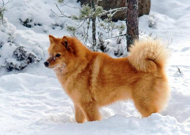 Норвежская лайка – охотничья порода: характеристика собаки – внешний вид, повадки, особенности ухода и содержания