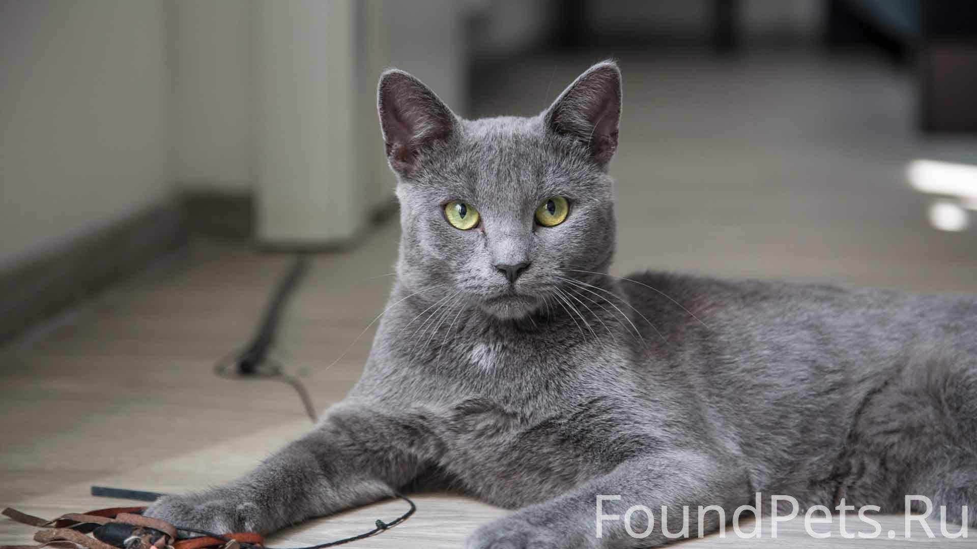 Кошка корат: происхождение, характеристика, уход