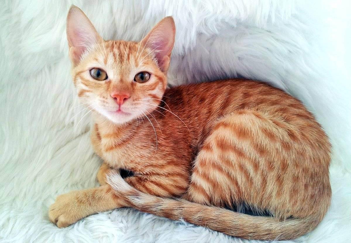 Окрасы кошек: описание с фото, история, генетика и кодировки