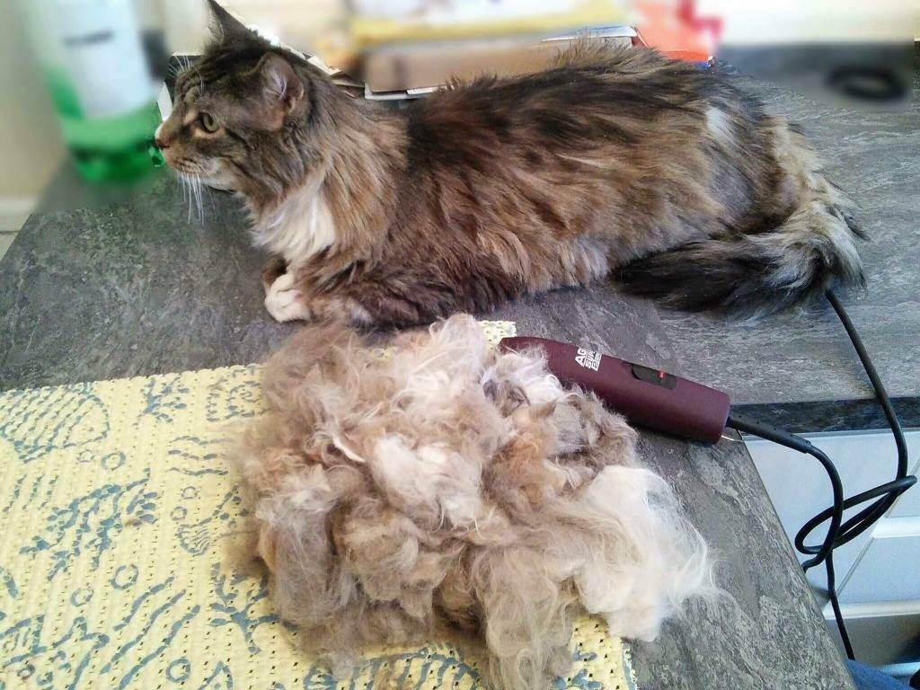 Зачем стригут кошек: почему нельзя и как часто можно подстригать котов