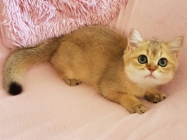 Британская шиншилла: описание кошки, окрасы, характер, фото