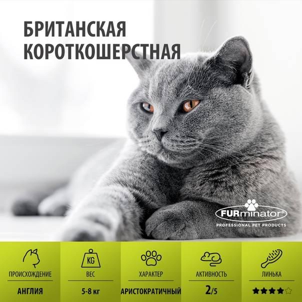 Характер и поведение британских кошек, правила воспитания