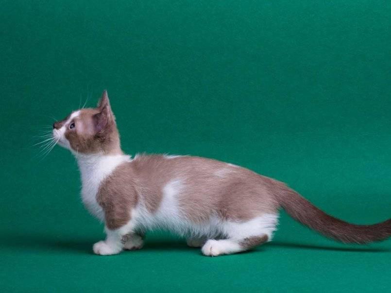 Коротколапые кошки: как называется порода питомцев с короткими лапами?