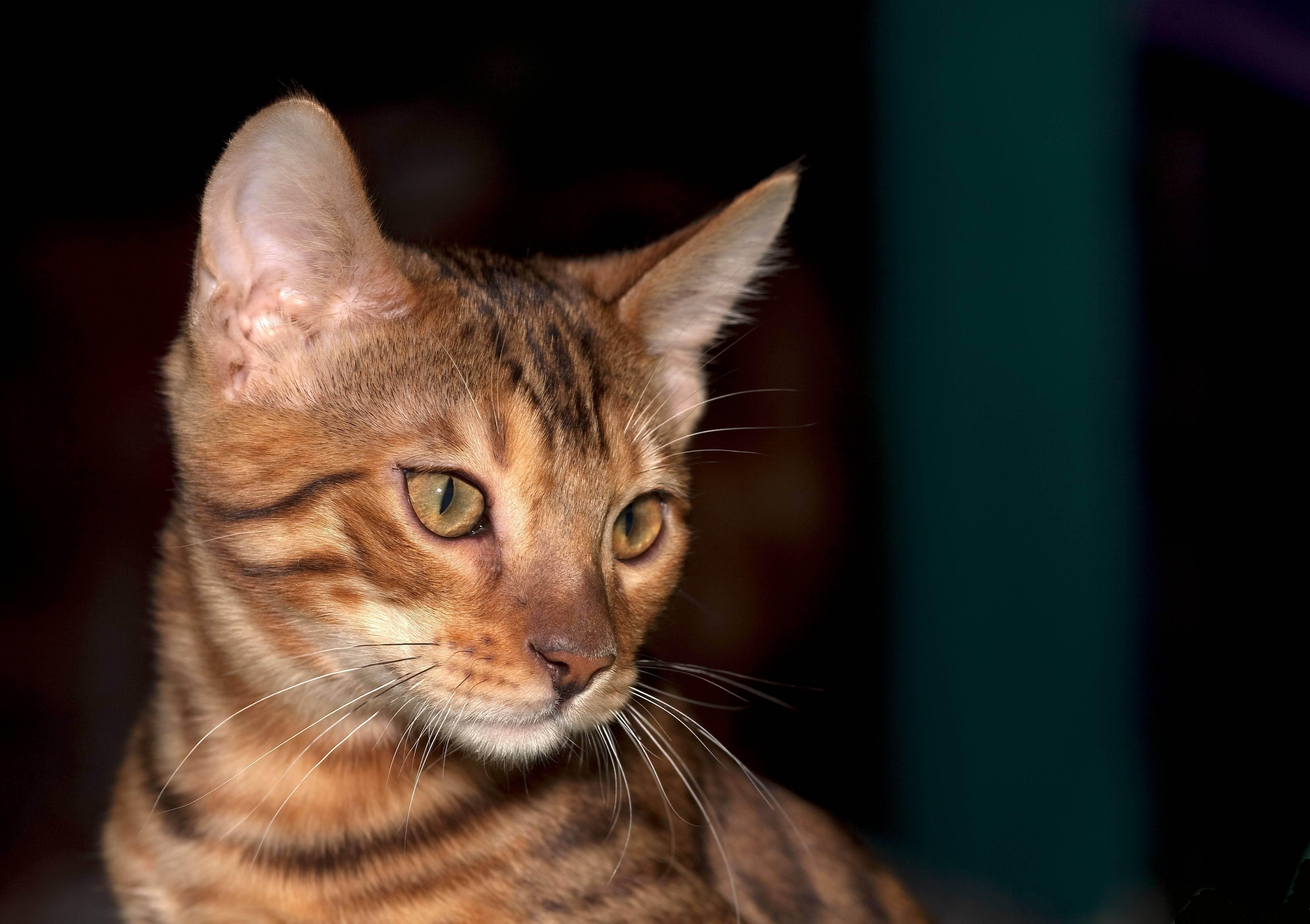 Породы кошек с фотографиями, названиями. кошки фото.