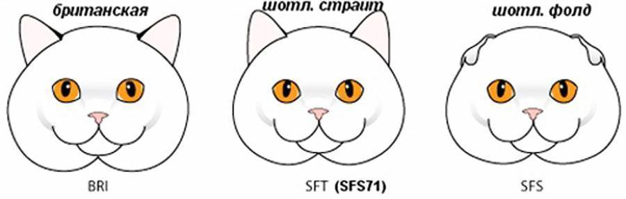 Чем кормить вислоухого шотландского котенка в домашних условиях