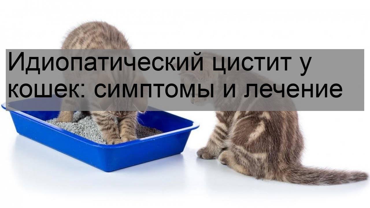 У кота цистит чем лечить в домашних условиях: симптомы, что делать