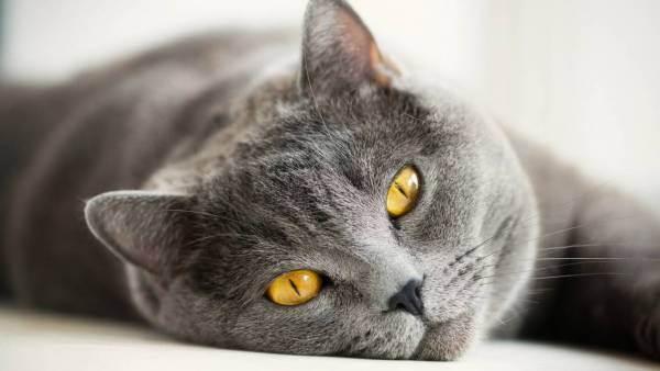 Чем кормить британских котят? варианты питания британца в 1-5 месяцев в домашних условиях. едят ли маленькие котята обычную еду?
