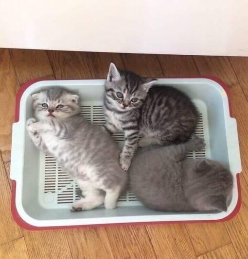 Способы приучить взрослую кошку к лотку