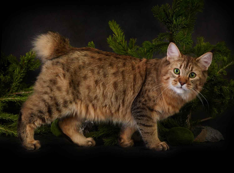 Кошка, похожая на рысь: порода, домашняя, фото, с кисточками на ушах
