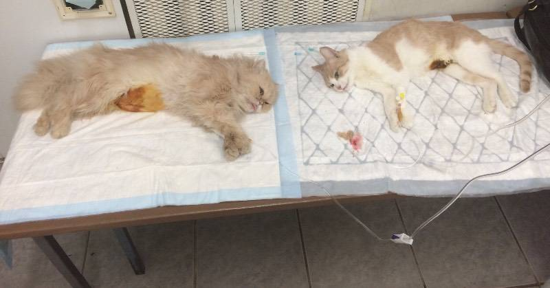Общая анестезия: подготовка, риски, поведение кошки после наркоза