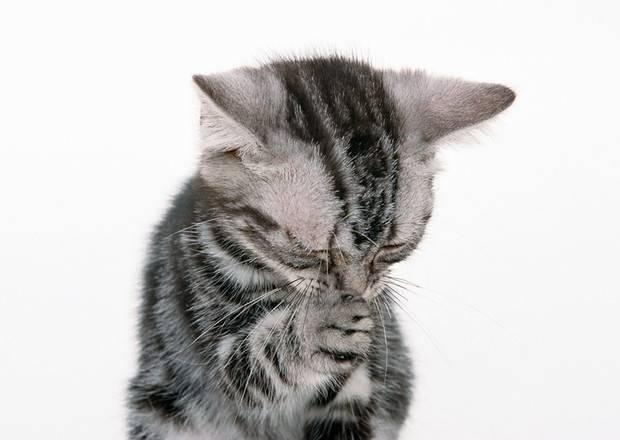 Кошка чихает и фыркает: причины, лечение, профилактика | ветеринарная служба владимирской области