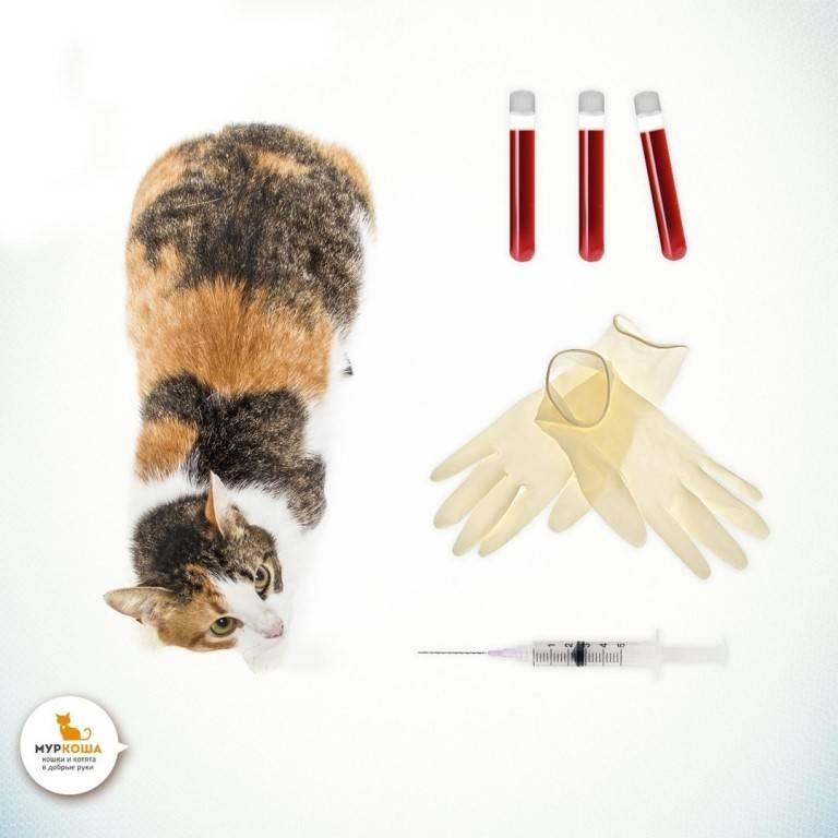 Переливание крови у кошек при анемии
