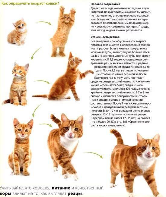 Способы позволяющие установить возраст котёнка: по весу, зубам и другие