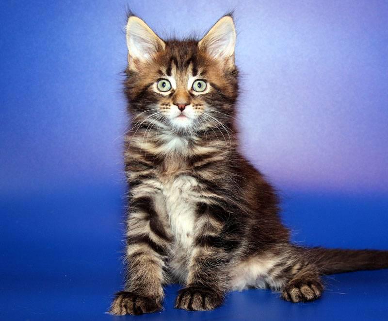Имя для рыжего мейн куна — кошачий сайт