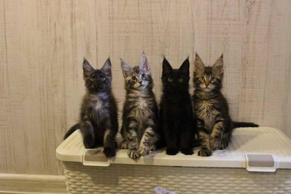 Как начать разводить кошек: первые шаги, что нужно знать, плюсы и минусы бизнеса