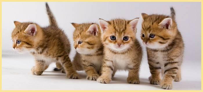 Как определить пол котенка — учимся самостоятельно отличать котят. советы заводчиков и ветеринаров как отличать пол котят (120 фото и видео)