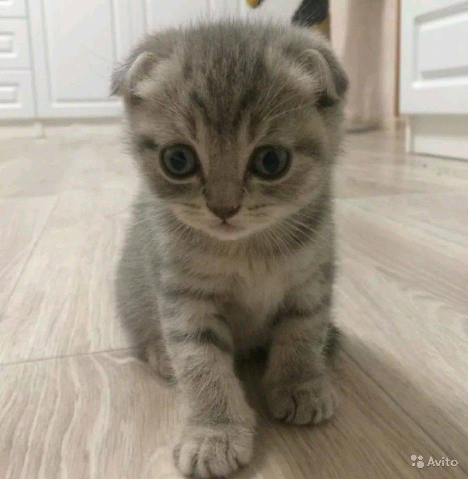 Как назвать шотландского кота: интересные и необычные имена для мальчиков и девочек
