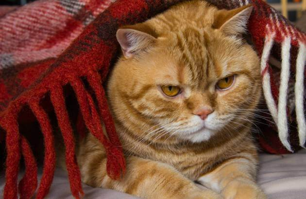 5 опасных осложнений после прививок у кошек
