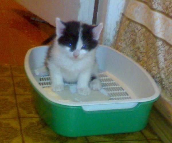 Как приучить котенка к лотку в квартире легко и быстро и отучить его или взрослую кошку везде гадить