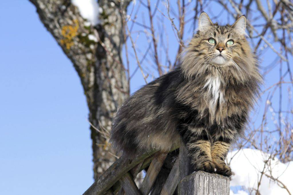 Кошка норвежская лесная: фото, характеристика породы, цена