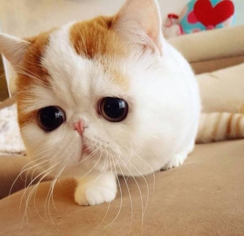 Топ 10 самые красивые породы кошек в мире - лучшие топ 10
