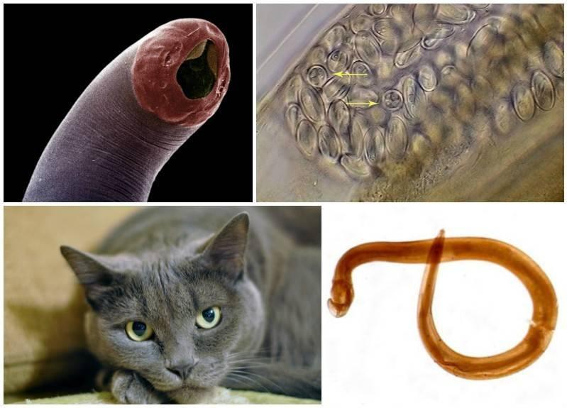 Что делать, если у кота нематоды?