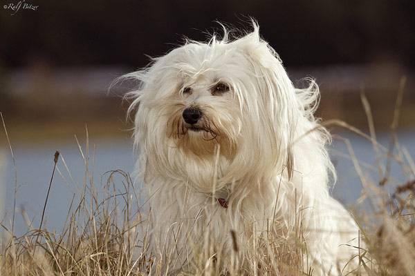 Бишоны: гаванский хаванез, мадагаскарский котон-де-тулеар, лион – он же левхен или малая львиная собака, характеристики взрослого фризе и других мини пород, их фото